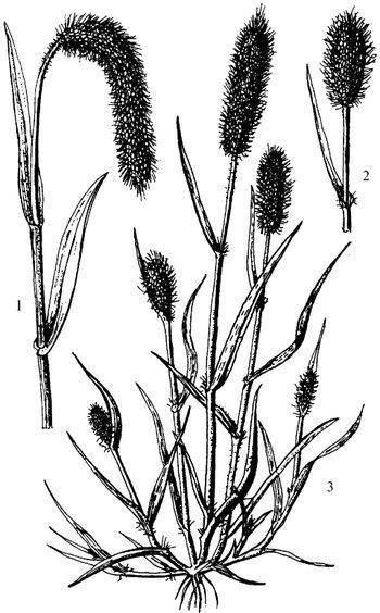 Рогоз узколистный: описание и применение растения