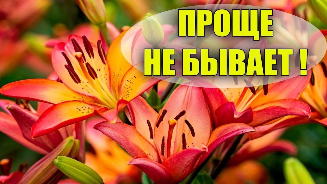 Как размножить лилии осенью чешуйками, детками или бульбочками