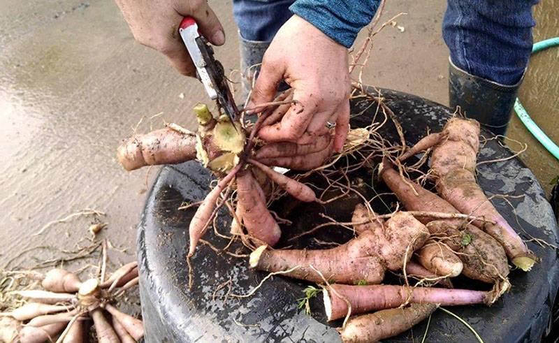 Как правильно хранить клубни георгин зимой?