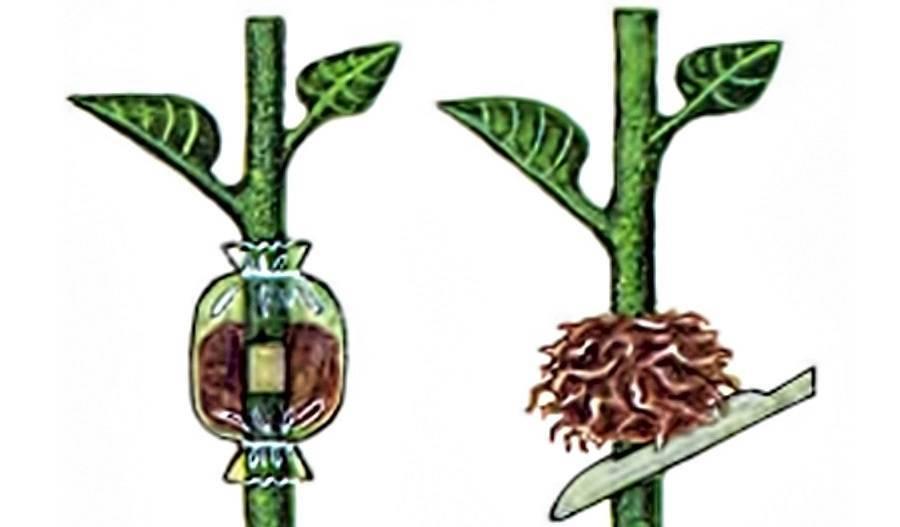3 основных способа размножения диффенбахии в домашних условиях