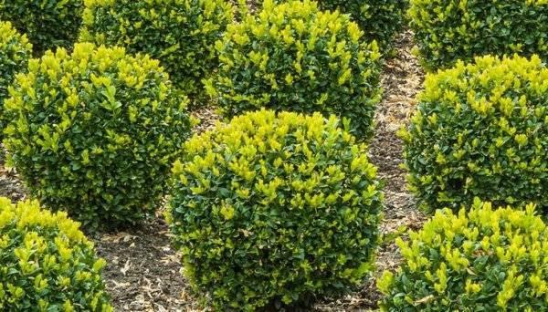 Лучшие хвойные растения для сада — статья которая поможет вам красиво скомбинировать растительность, виды и названия растений в обзоре!