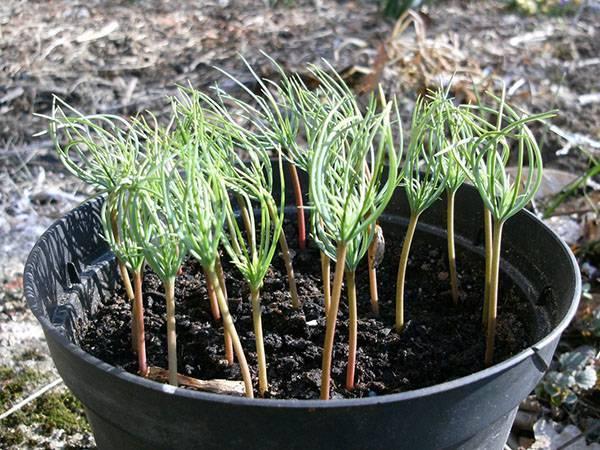 Нюансы выращивания пихты на даче: инструкция для новичков