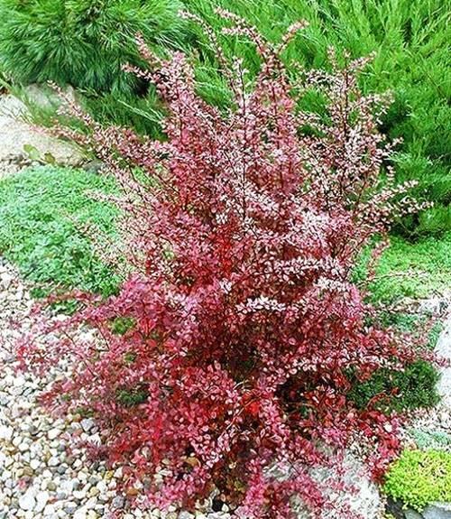 Как посадить барбарис в открытом грунте? правила ухода