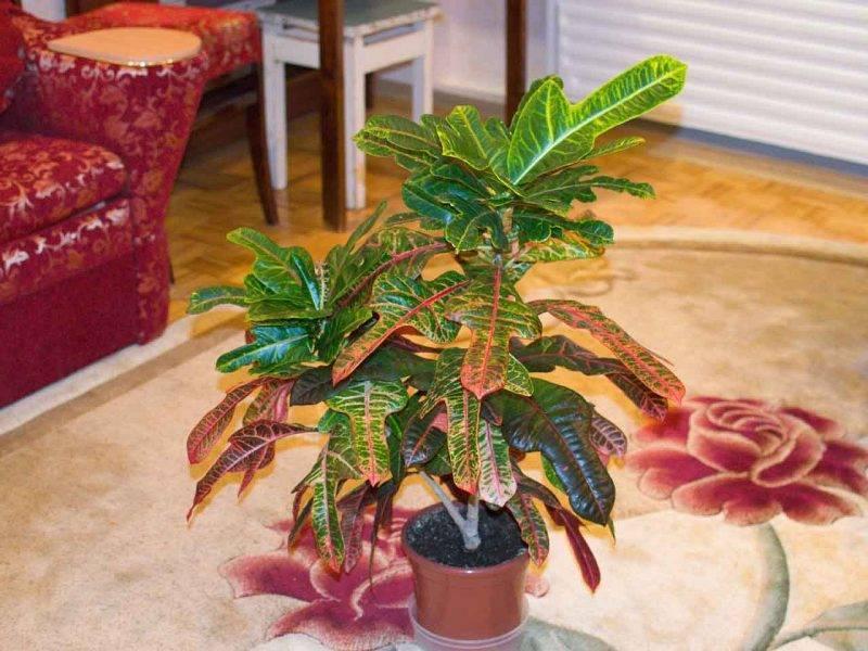 Кротон — размножение в домашних условиях