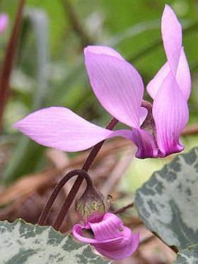Цветок персидский цикламен и его выращиванием