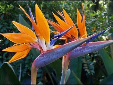Стрелиция: уход в домашних условиях, фото цветка, выращивание из семян в горшке, почему растение не цветет и что делать
