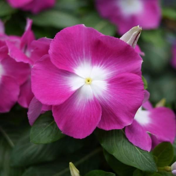 Это нужно знать при выращивании цветка катарантуса