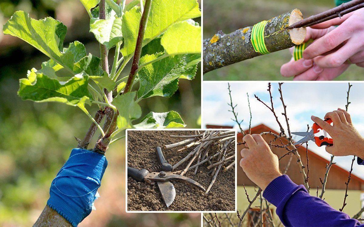 Как правильно привить яблоню весной - способы прививки черенков