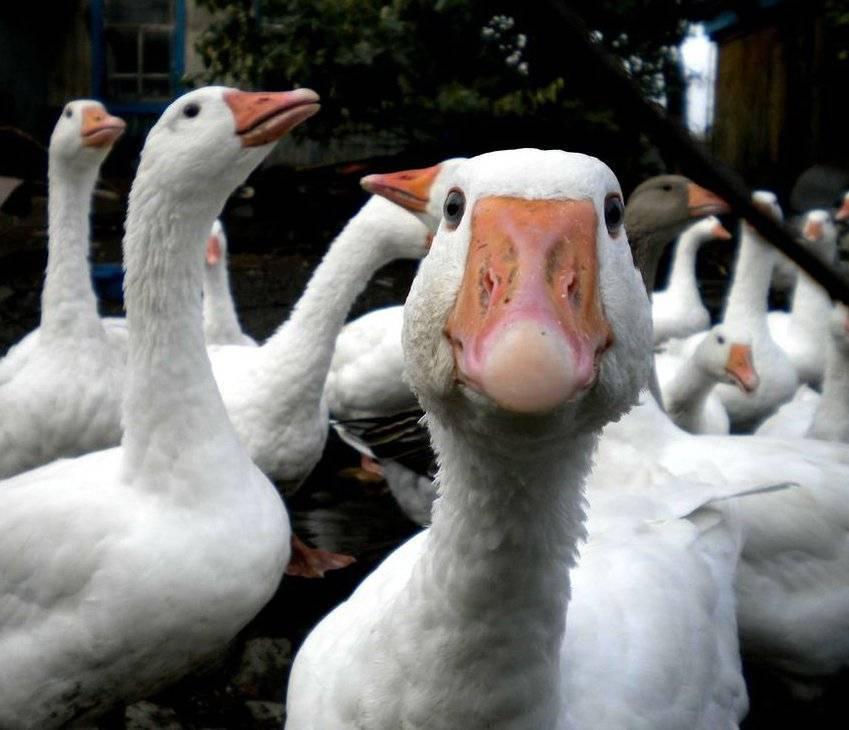 Содержание гусей в домашних условиях
