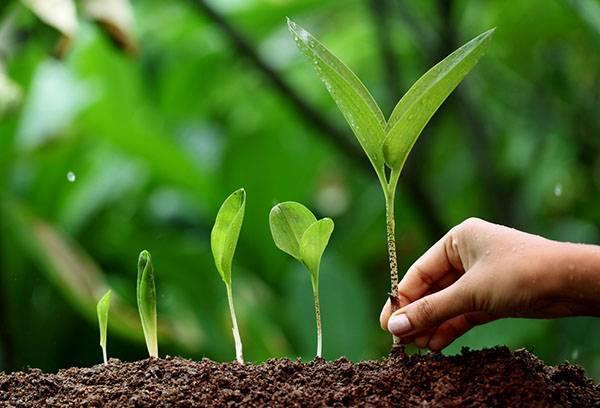Как правильно вырастить черемшу из семян на огороде