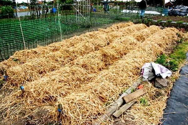 Картофель под соломой: как сажать и ухаживать, выращивание и уход