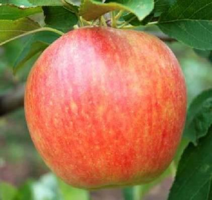 Высокоурожайная яблоня глостер
