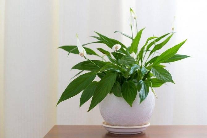 Спатифиллум: как вырастить женское счастье в домашних условиях