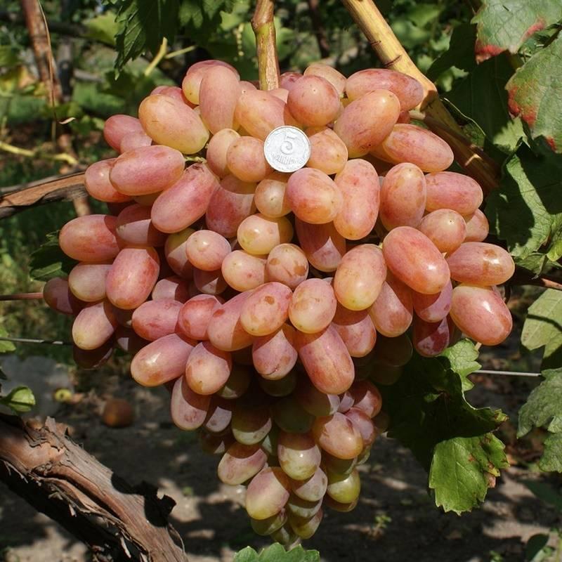 Виноград с крупными гроздьями преображение. внешние признаки и агротехнические рекомендации