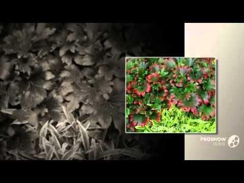 Клён ясенелистный описание и особенности