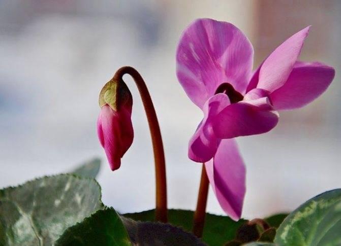 Украшение вашего дома — цикламен: как вырастить из семян?