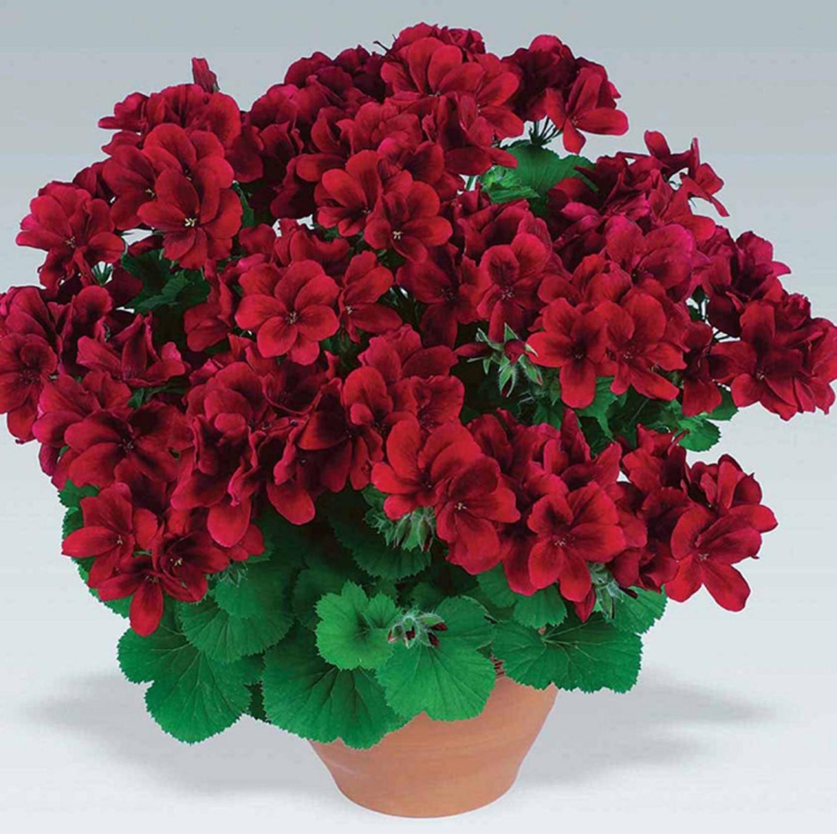 Королевская пеларгония — оригинальное растение для яркого ландшафта!
