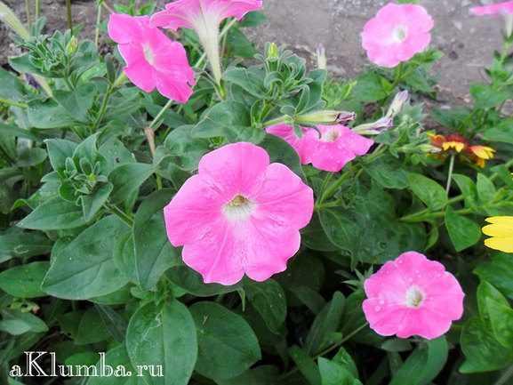 Выращивание ибериса в саду из семян, сроки посева, уход, видео