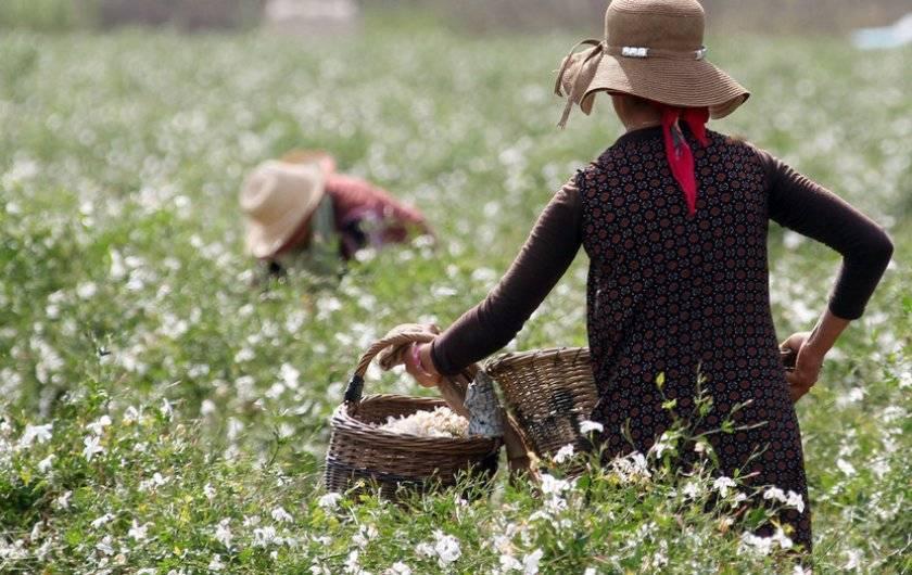Свойства и применение эфирного масла жасмина
