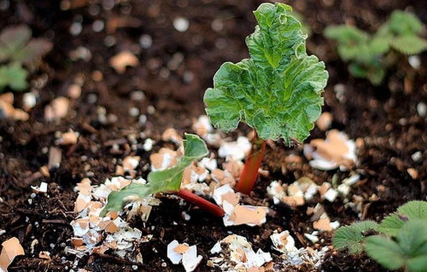 Яичная скорлупа как удобрение для растений в огороде и дома