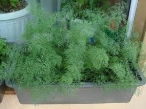 Как посадить укроп в квартире на окне