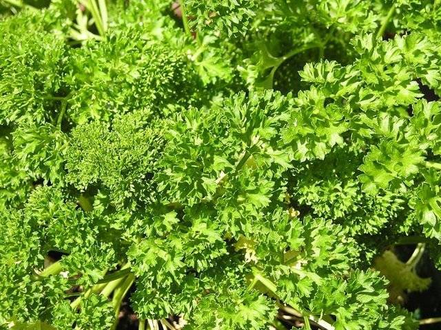 Советы по выбору семян петрушки. обзор лучших сортов для открытого грунта и теплиц