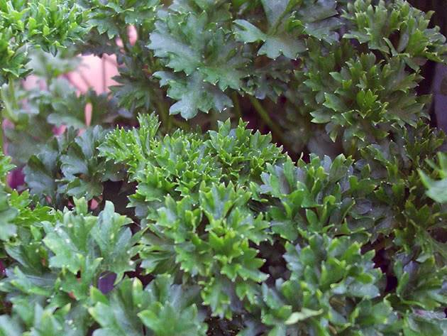 Сорта петрушки листовой и корневой: самые лучшие, скороспелые и урожайные