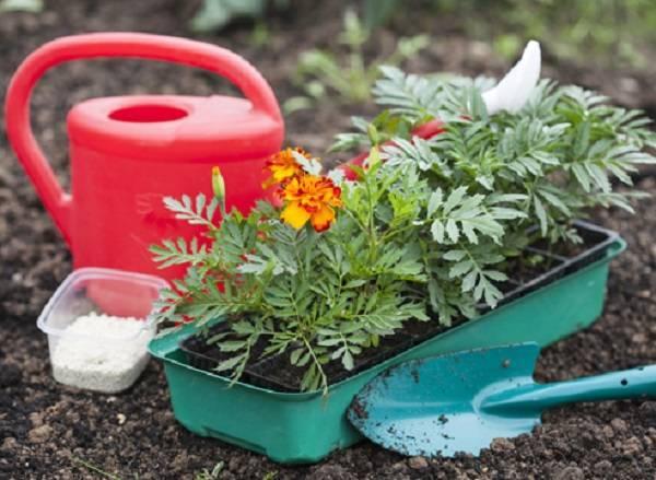 Как вырастить хорошую рассаду бархатцев из семян в домашних условиях ?