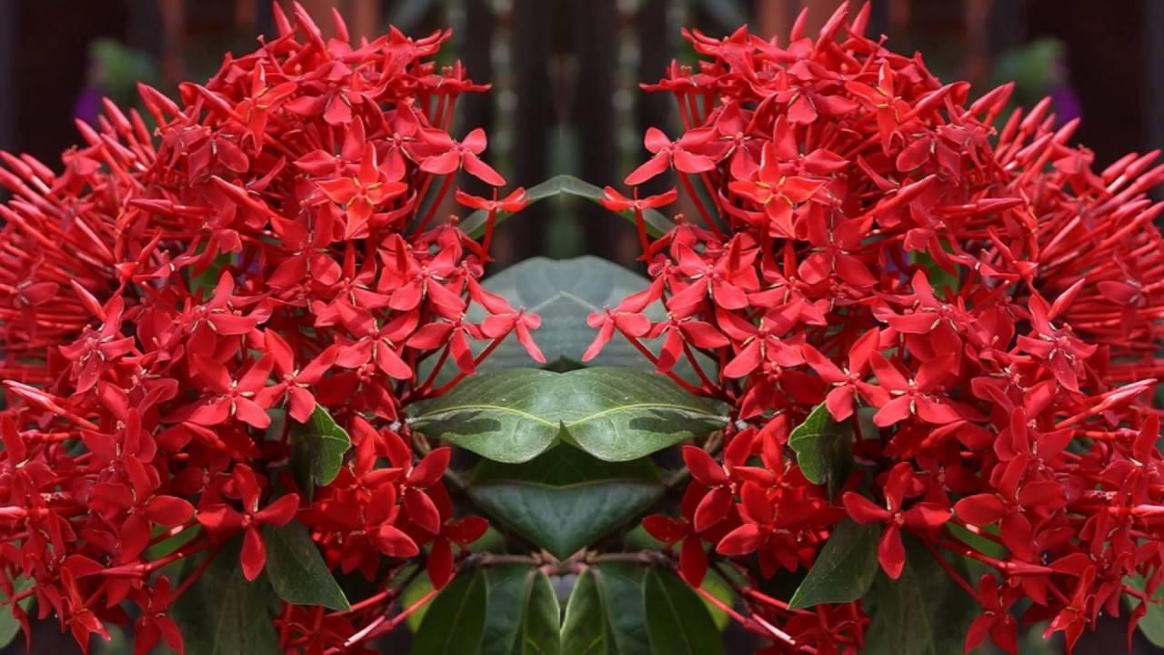 Иксора: тропический деликатный многолетник