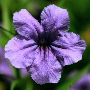 Цветок руэллия: уход в домашних условиях, фото, выращивание из семян