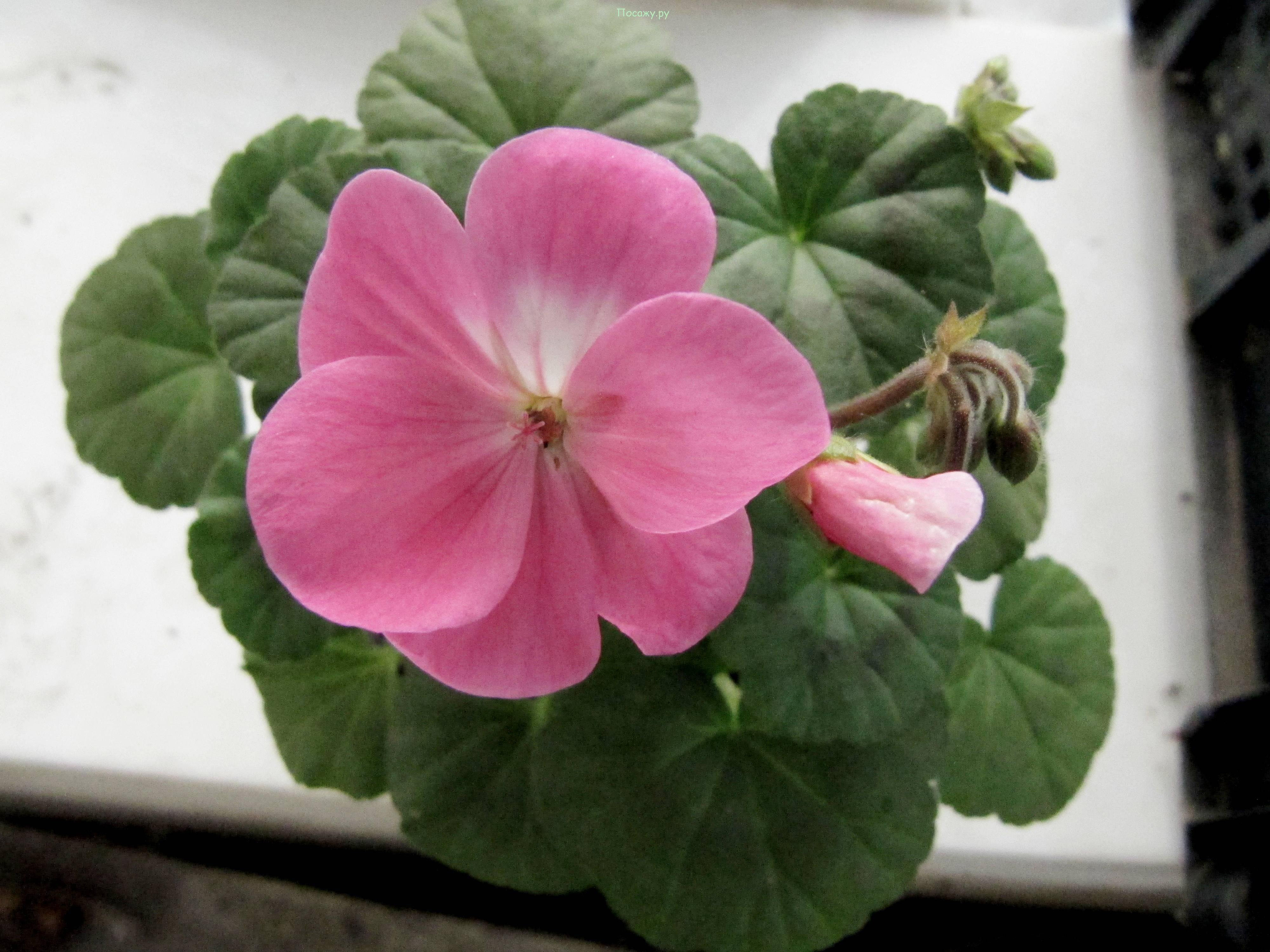 Всё о семенах пеларгонии: как посадить и вырастить в домашних условиях пошагово?