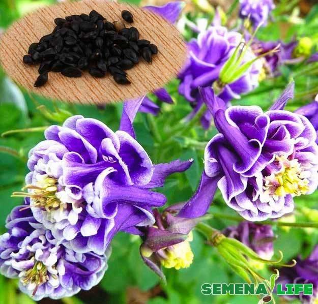 Аквилегия (водосбор, орлики) из семян — когда и как сажать в открытый грунт, как вырастить рассаду