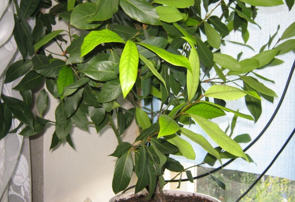 Как вырастить лавровый лист в саду и теплице: секреты посадки, размножения и ухода