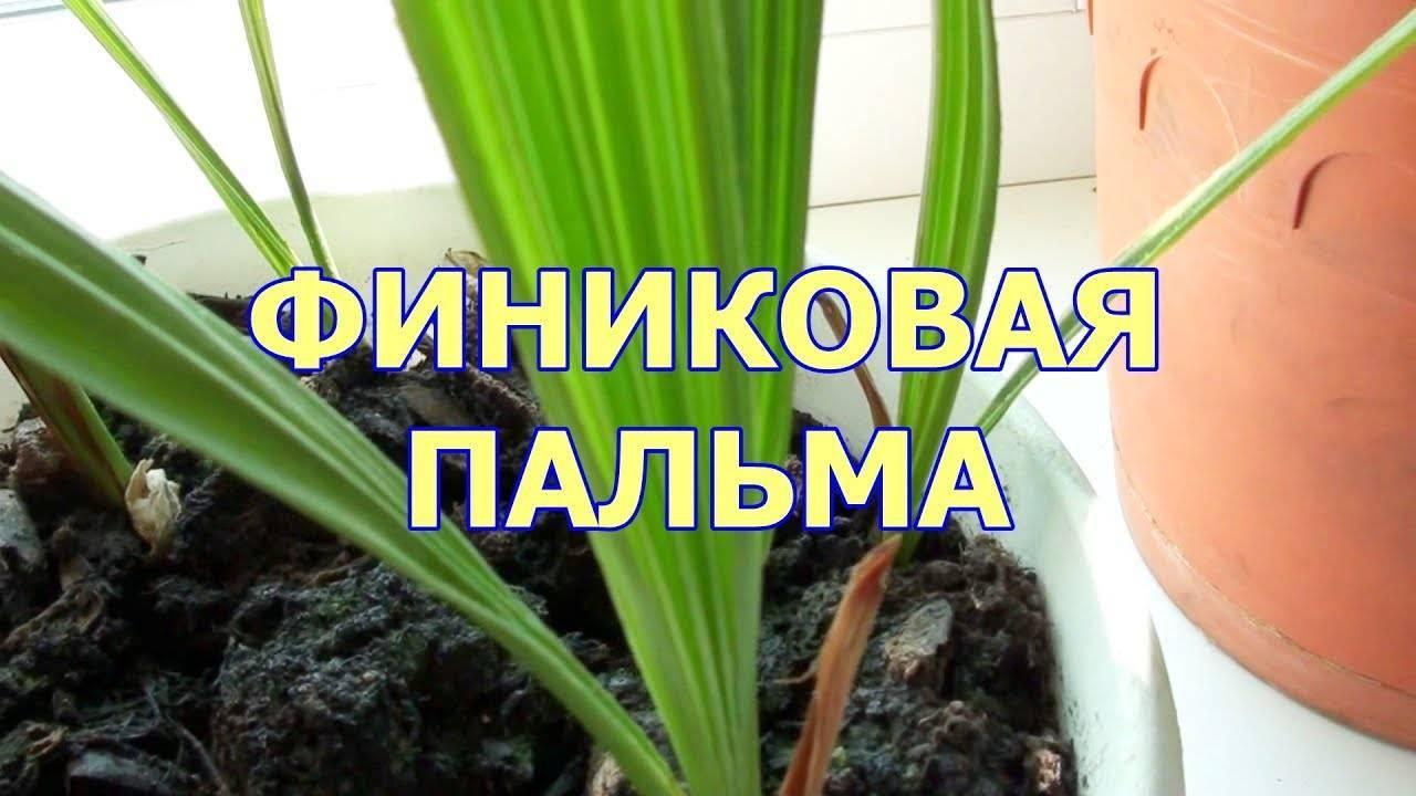 Финиковая пальма – выращивание в домашних условиях. полив, освещение, подкормки