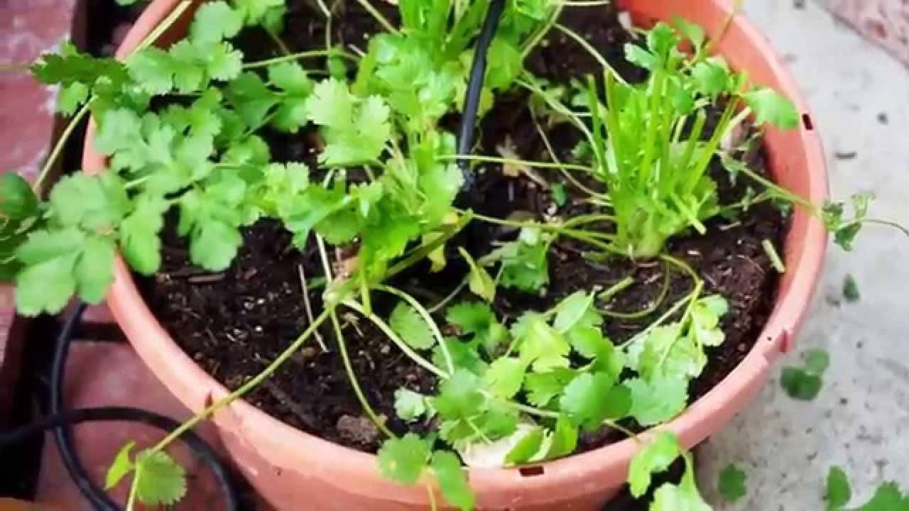 Семена кориандра: полезные свойства и противопоказания