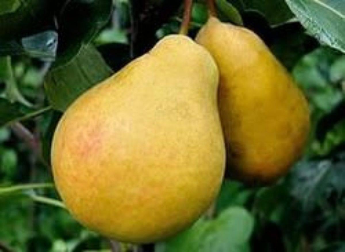 Правила выращивания сорта груши москвичка