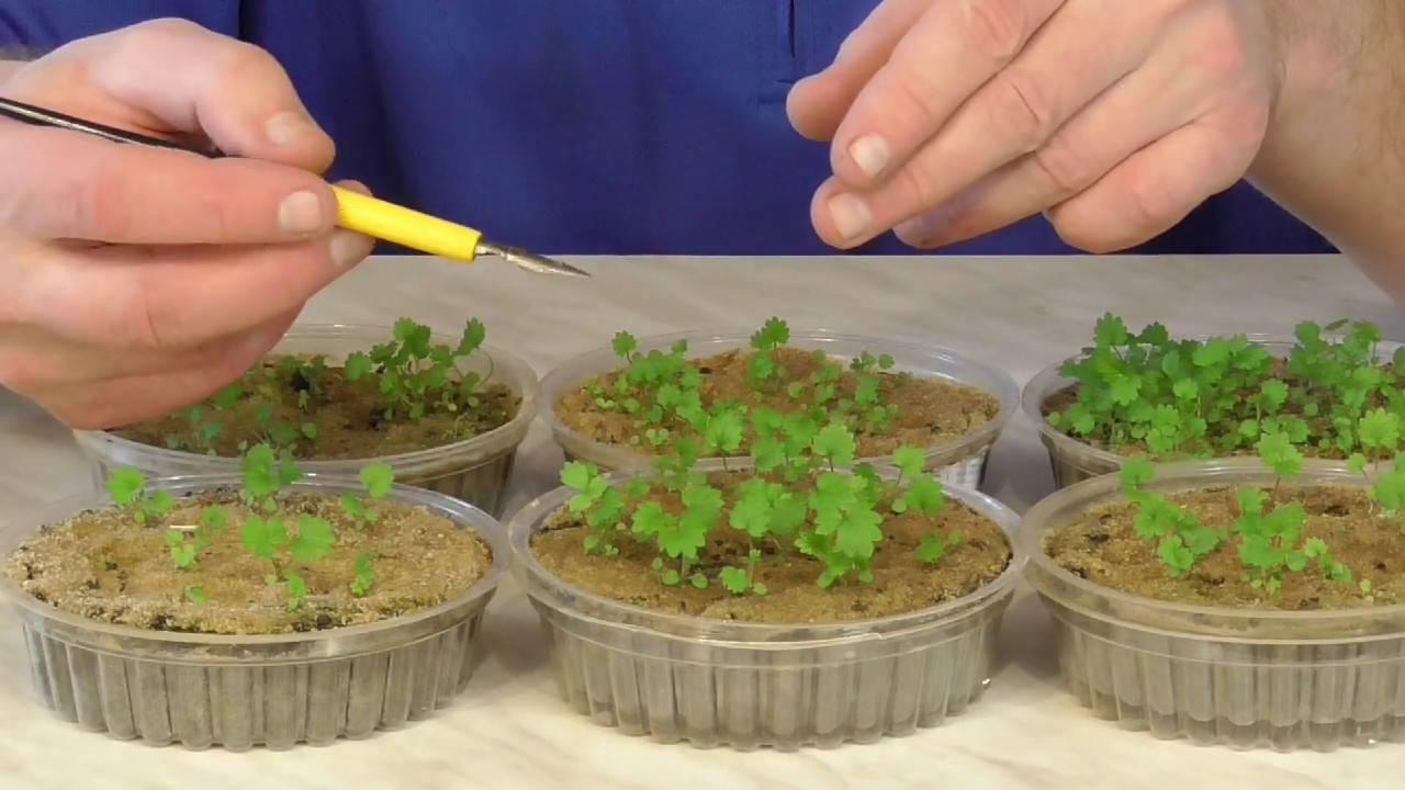 Как самостоятельно вырастить рассаду клубники из семян?
