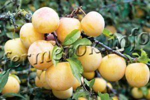 Алыча злато скифов: правила выращивания сладчайшего сорта