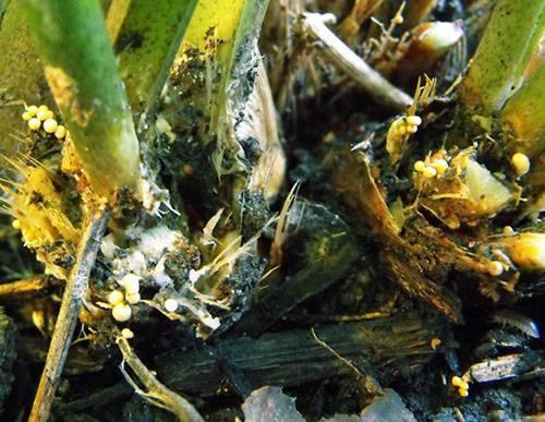 Почему у спатифиллума вянут листья и как ему помочь?