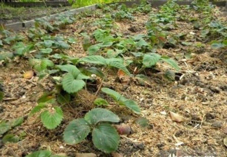 Чем лучше подкормить клубнику. залог прекрасного урожая — своевременная подкормка клубники весной! подкормка клубники золой весной