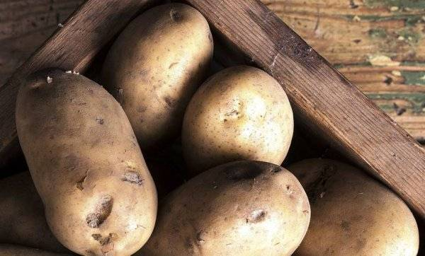 Родриго: один из самых перспективных сортов картофеля