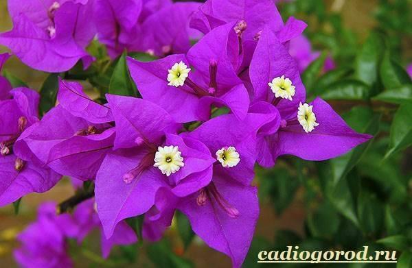 Бугенвиллия в домашних условиях, почему не цветет, сбрасывает листья, видео