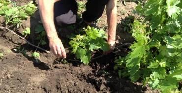 Как размножить виноград: самые эффективные способы размножения своими руками различных видов винограда (150 фото)