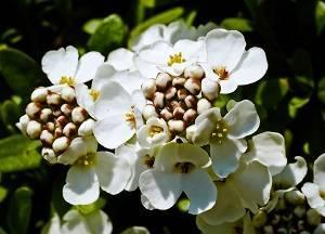 Цветущий сад в объятиях ибериса вечнозелёного