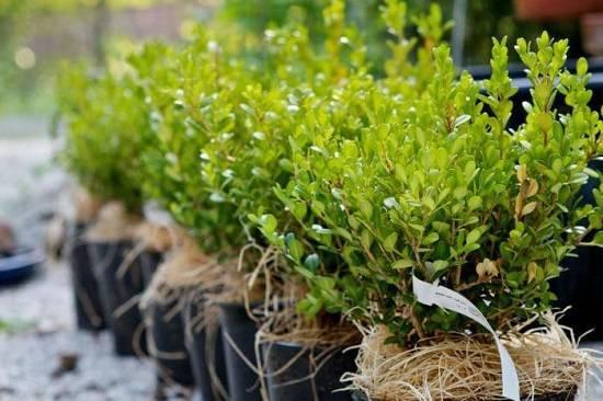 Самшит — правила размножения и ухода за вечнозеленым деревом