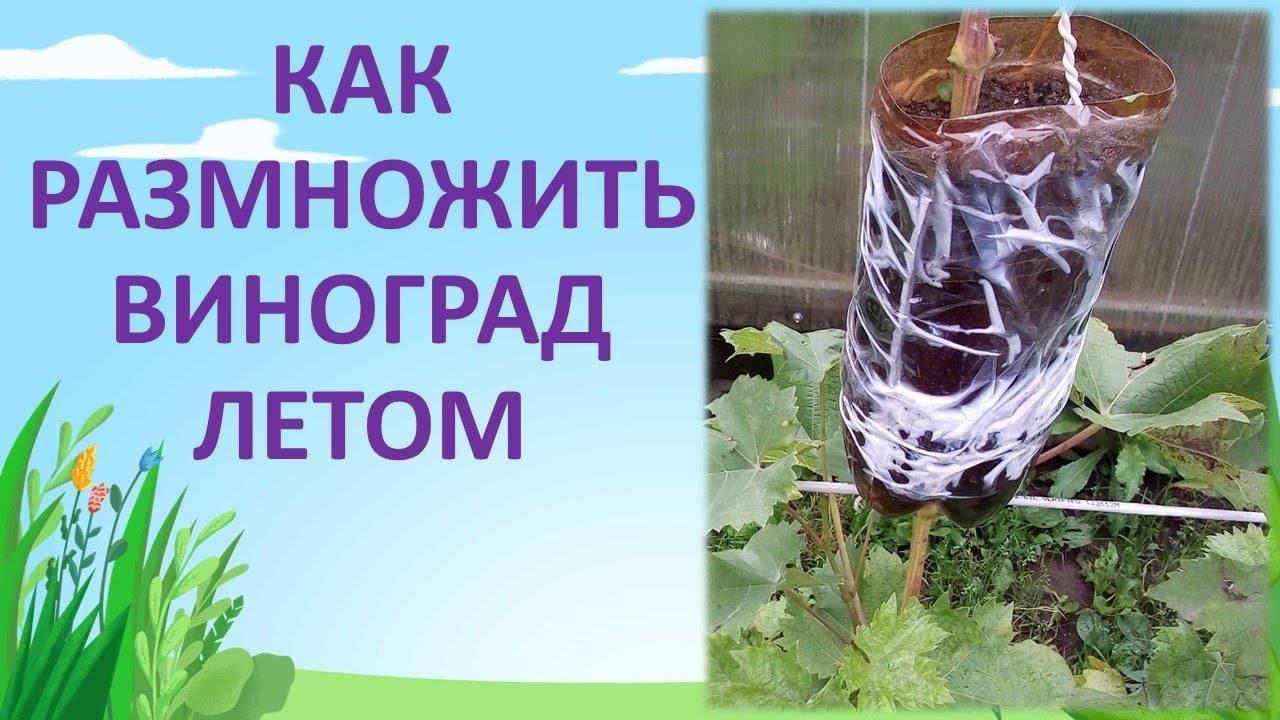 Размножение винограда черенками весной