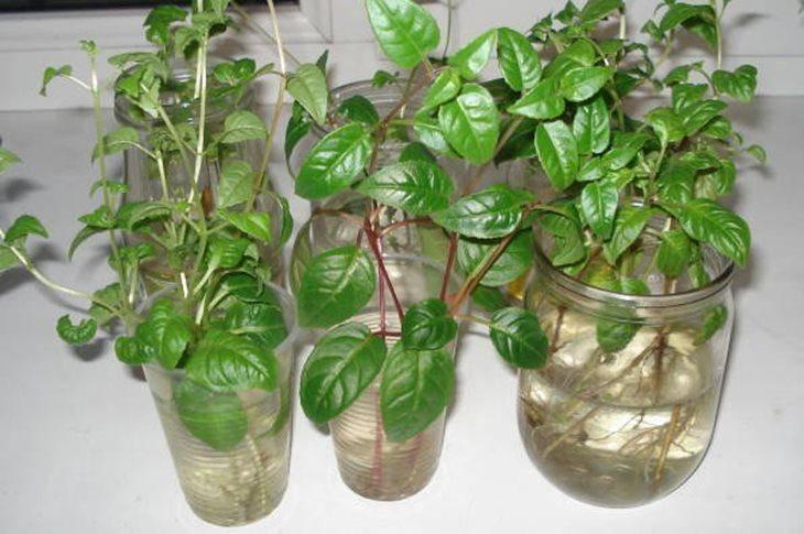 Размножение фуксии черенками в домашних условиях