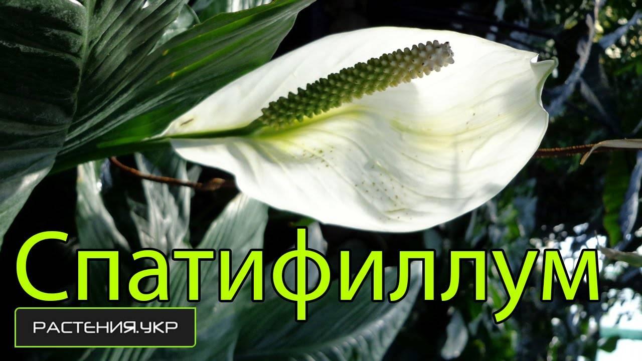 Цветок спатифиллум (женское счастье)