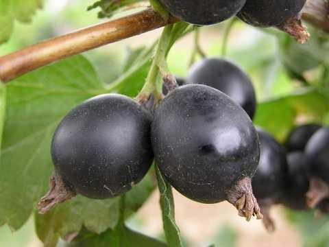 Полезные свойства и применение ягоды йошта