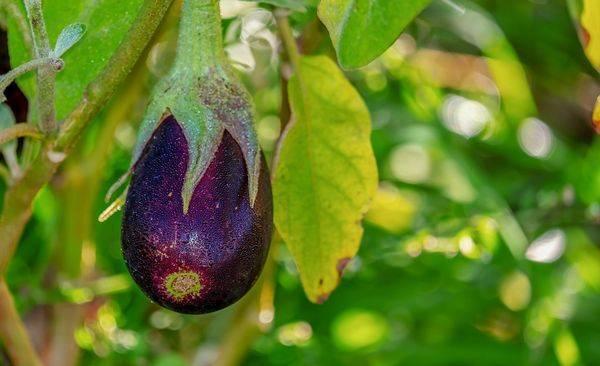 Узнайте как вырастить баклажаны в открытом грунте в подмосковье? рекомендации по срокам посадки семян, советы по уходу за рассадой